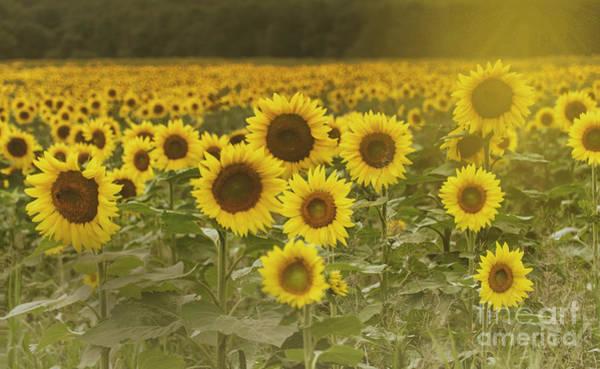 Photograph - Sunlit Field Of Sunflowers by Debra Fedchin