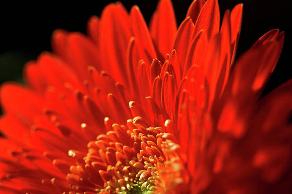 Photograph - Sunlit Gerbera by Clare Bambers
