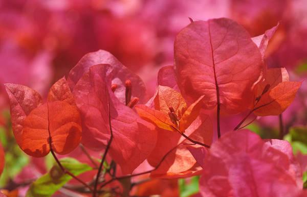 Photograph - Sunlit Pink-orange Bougainvillea by Rona Black