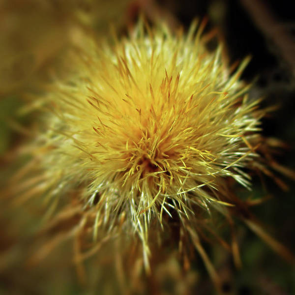 Photograph - Sunlit Star Thistle by Valerie Anne Kelly