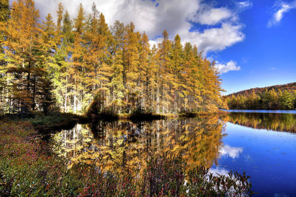 Photograph - Sunlit Tamaracks by David Patterson