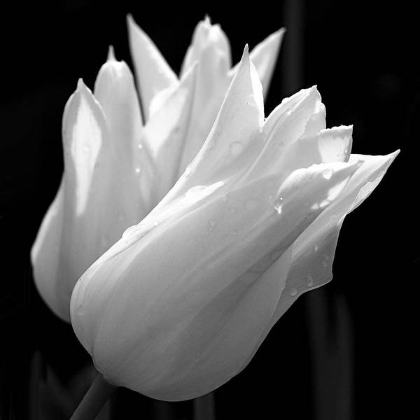 Photograph - Sunlit White Tulips by Rona Black
