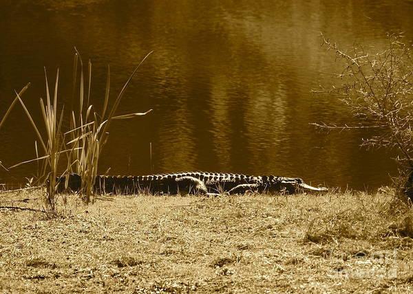 Gator Photograph - Sunning Gator by Carol Groenen