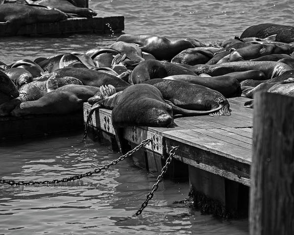 Photograph - Sunning Sleeping Seal Pier 39 San Francisco Black And White by Toby McGuire