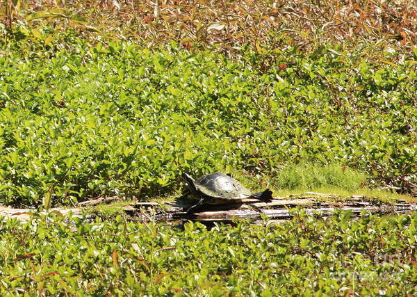 Photograph - Sunning Turtle In Swamp by Carol Groenen