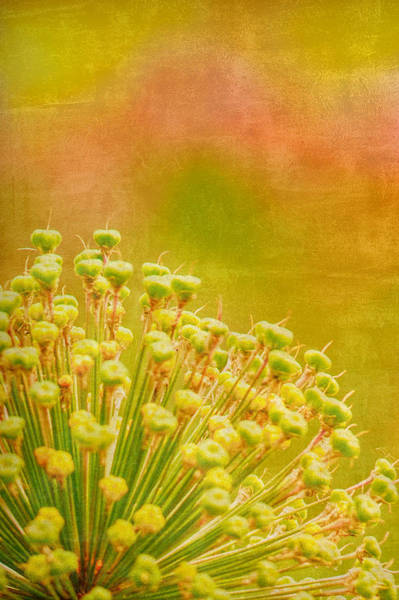 Wall Art - Photograph - Sunny Allium by Bonnie Bruno