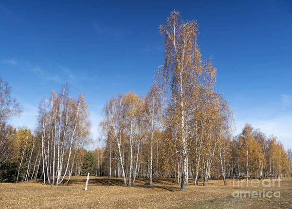 Photograph - Sunny Birch Forest by Odon Czintos