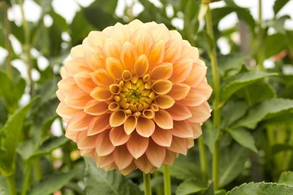 Photograph - Sunny Dahlia by Brian Eberly