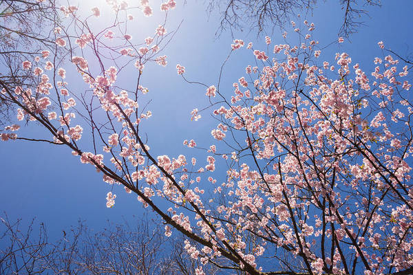 Photograph - Sunny Day In Spring With Pink Cherry Tree Blossoms by Matthias Hauser