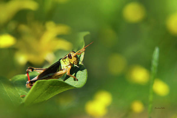 Photograph - Green Grasshopper by Christina Rollo