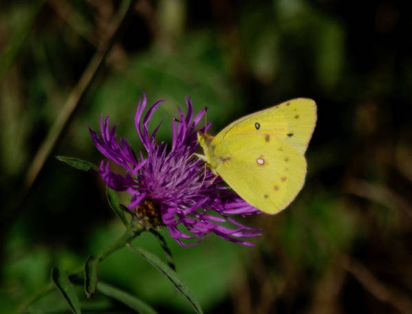Sulfur Butterfly Wall Art - Photograph - Sunny Sulfur by Adria Trail