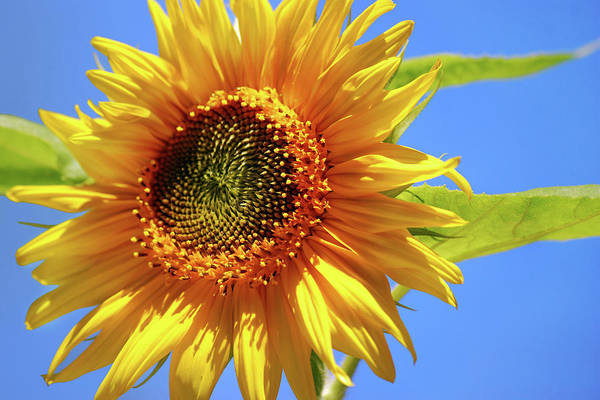 Photograph - Sunny Sunflower by Christina Rollo