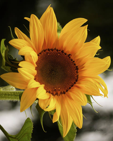 Photograph - Sunny Sunflower by Jordan Blackstone