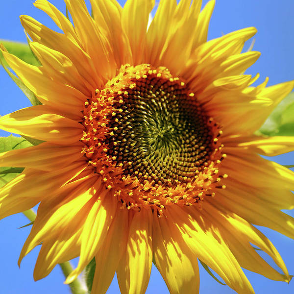 Photograph - Sunny Sunflower Square by Christina Rollo