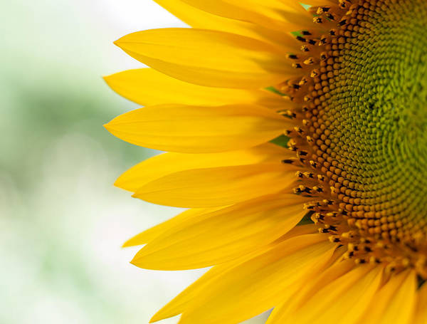 Photograph - Sunny Sunflower by Terry DeLuco