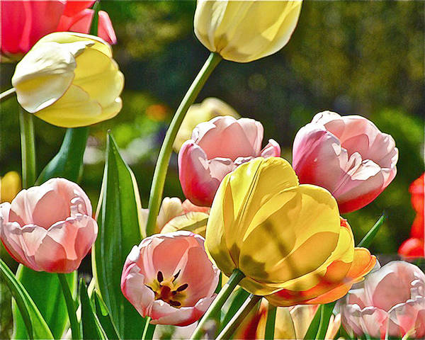 Photograph - Sunny Tulips by Janis Nussbaum Senungetuk