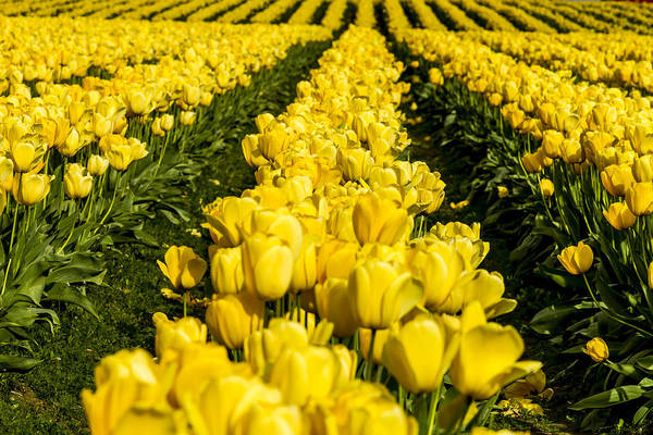 Photograph - Sunny Tulips by Teri Virbickis
