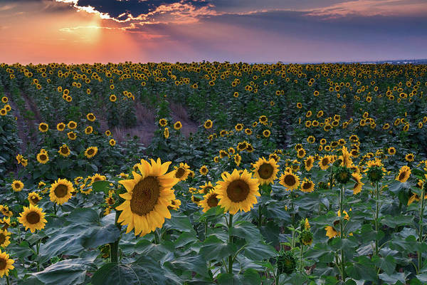 Photograph - Sunrays And Sunflowers by John De Bord