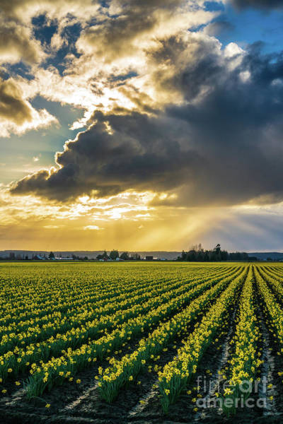 Wall Art - Photograph - Sunrays Clouds Angles Skagit Daffodil Field by Mike Reid