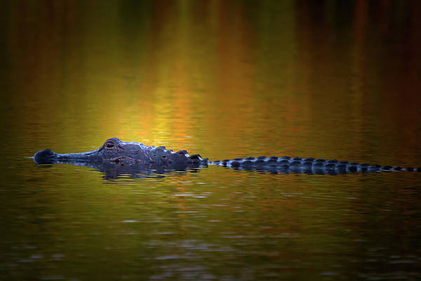 American Crocodile Photograph - Sunrise Alligator by Mark Andrew Thomas