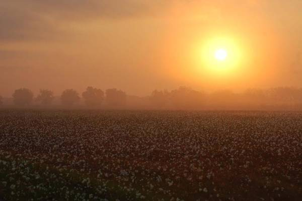 Digital Art - Sunrise And The Cotton Field by Michael Thomas