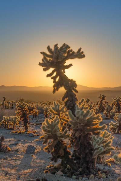 Mojave Photograph - Sunrise Cholla by Joseph Smith