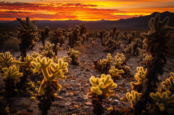 Photograph - Sunrise Joshua Tree Cholla Garden by TM Schultze