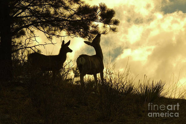 Photograph - Sunrise Mule Deer In The Pike National Forest Snow by Steve Krull