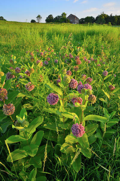 Photograph - Sunrise On Glacial Park Milkweed by Ray Mathis