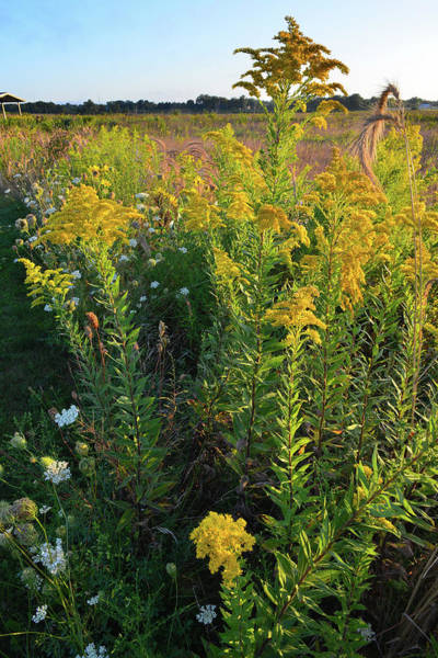 Photograph - Sunrise On Goldenrod At Kishwaukee Headwaters by Ray Mathis