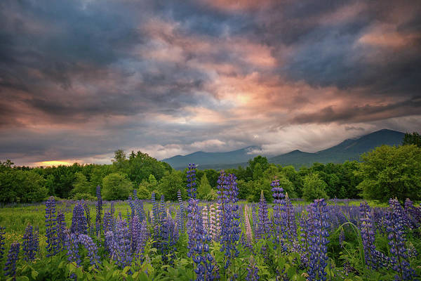 Photograph - Sunrise Over The Lupine Field by Darylann Leonard Photography