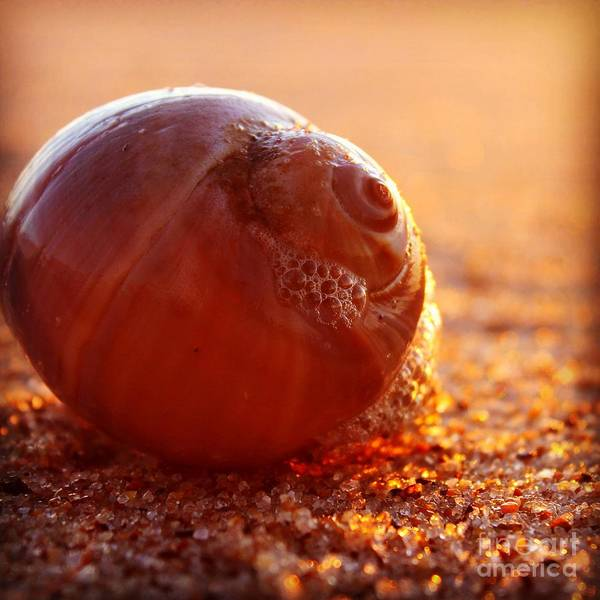Wall Art - Photograph - Sunrise Shell by Hanni Stoklosa