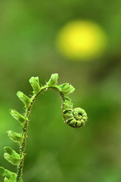 Photograph - Sunrise Spiral Fern by Christina Rollo