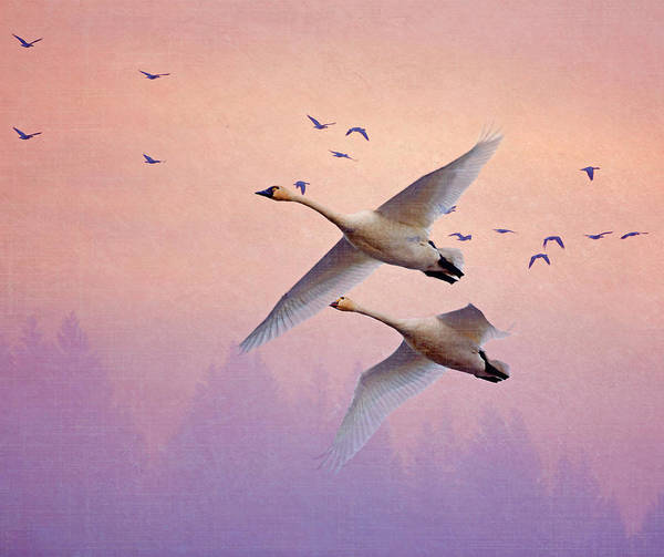 Wall Art - Photograph - Sunrise Swans by Angie Vogel