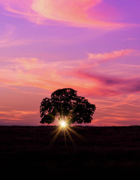 Photograph - Sunset And The Oak  by Janet Kopper