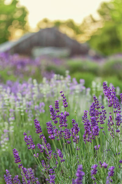 Photograph - Sunset At The Lavender Farm by Kristen Wilkinson