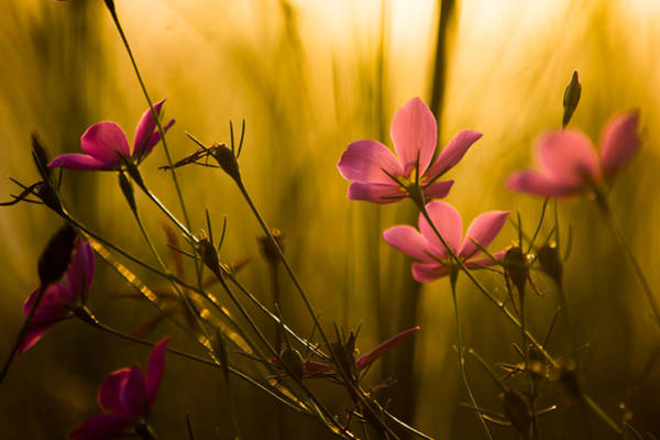 Posies Photograph - Sunset Beauties by Parker Cunningham