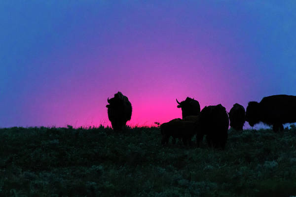 Photograph - Sunset Bison by Jay Stockhaus
