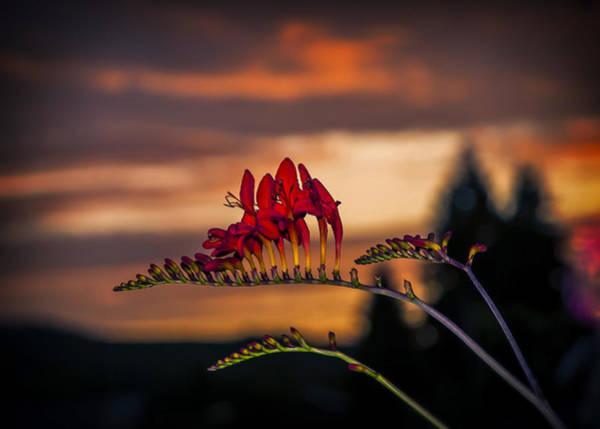 Photograph - Sunset Crocosmia by Robert Potts