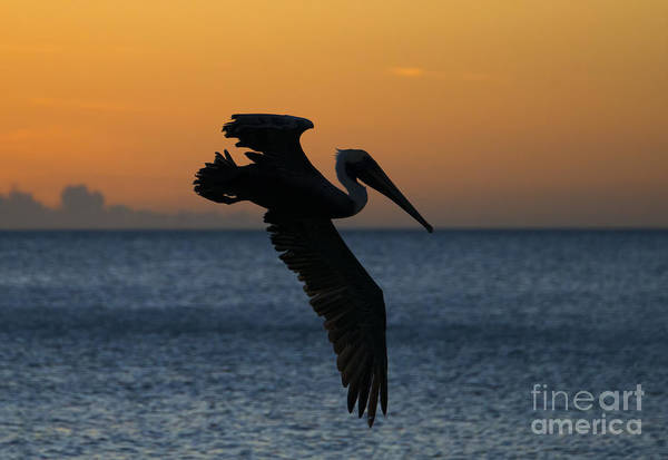 White Pelican Photograph - Sunset Glide by Mike Dawson