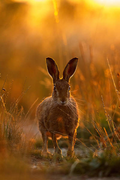 Photograph - Sunset Hare by Simon Litten