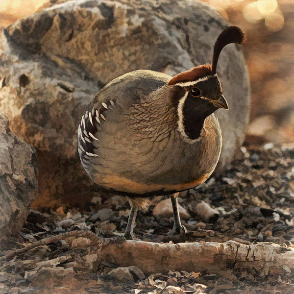 Photograph - Sunset Light On Quail Bz by Theo O'Connor
