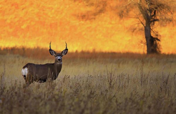 Mule Deer Photograph - Sunset Lover by Kadek Susanto