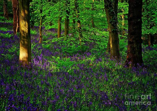 Photograph - Sunset On Bluebells In Spring by Martyn Arnold