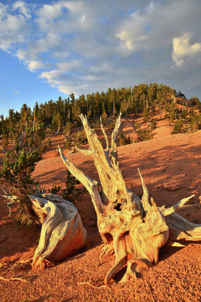Photograph - Sunset On Bristlecones by Ray Mathis