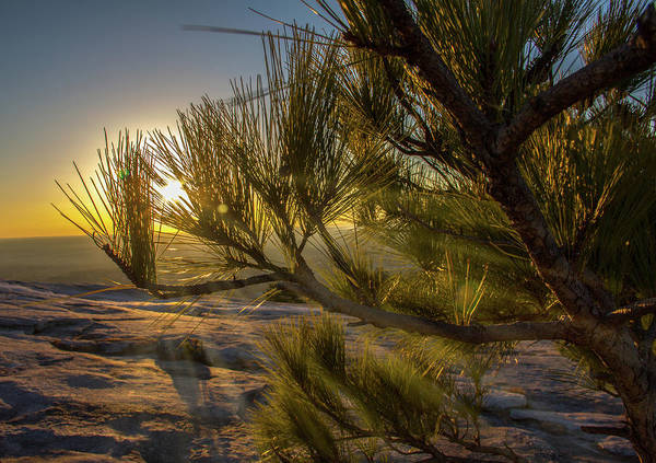 Photograph - Sunset Pines by Kenny Thomas