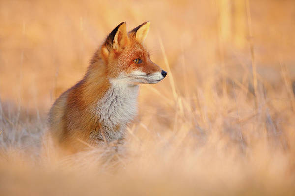 Wall Art - Photograph - Sunset Series - Red Fox At Sunset by Roeselien Raimond