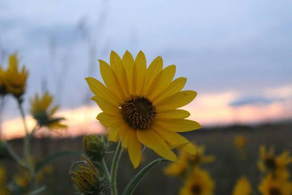 Wall Art - Photograph - Sunset Sunflower by Weathered Wood