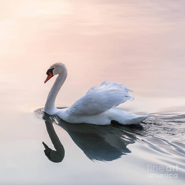 Photograph - Sunset Swan by Elena Elisseeva