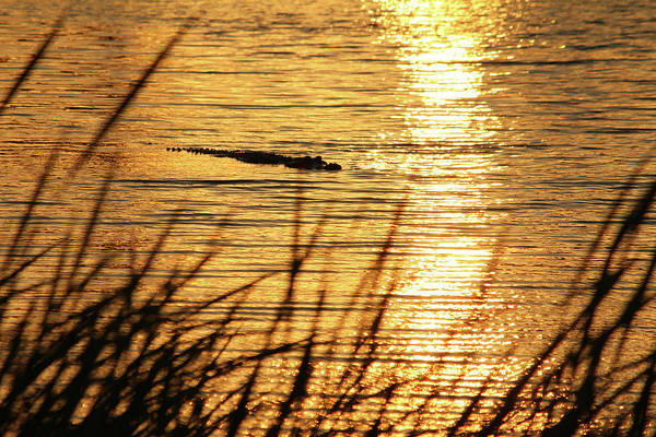 Photograph - Sunset Swim by Cynthia Guinn